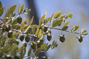 میوه گیاه جوجوبا